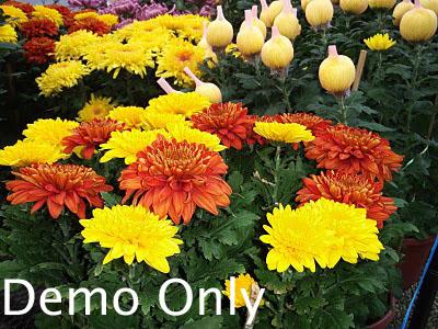 Yellow Chrysanthemum1